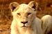 TPI Lions